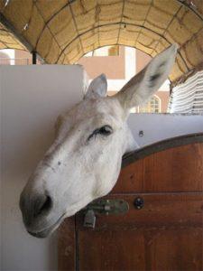 working donkey in egypt