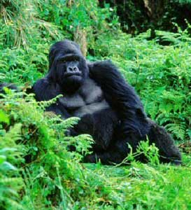 Wild Gorillas in the Democratic Republic of the Congo